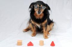 Dog IQ Test. One Old Female Black Dog Doing an IQ Test Stock Photo