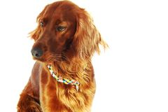 Dog Irish Setter Royalty Free Stock Image