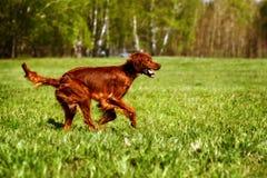 Dog Irish setter running Stock Photos