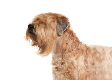 Dog. Irish soft coated wheaten terrier Stock Image
