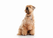 Dog. Irish soft coated wheaten terrier Royalty Free Stock Images