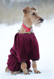 Dog the Irish terrier to the not walk royalty free stock photos