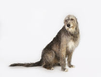 Dog the Irish wolfhound Royalty Free Stock Image
