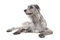Dog (Irish Wolfhound) Stock Images