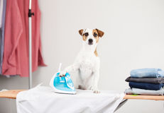 Dog ironing shirt. Pet doing housework. Humor stock photography