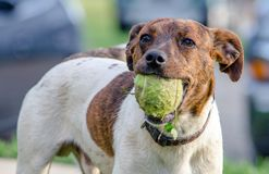 Free Dog Is Ready To Play Ball Royalty Free Stock Image - 159717606