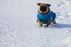 Free Dog Is Running On The Snow Stock Photography - 104324862