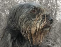 Beautiful Specimen of a Sardinian Native Breed Dog royalty free stock images