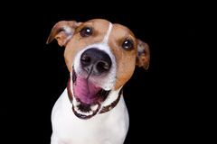 Dog isolated on black. Jack russell terrier dog isolated on black background looking at you  with open smacking mouth Royalty Free Stock Images