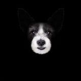 Dog isolated on black Royalty Free Stock Photography