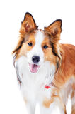 Dog Isolated On White, Border Collie, Portrait Stock Photo