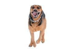 Dog isolated on the white background Stock Photos