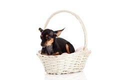 Dog isolated on white background in basket pet Royalty Free Stock Photo