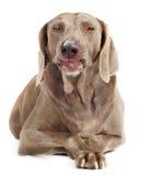 Dog isolated on white Stock Images