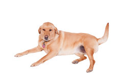 Dog isolated on white Stock Images