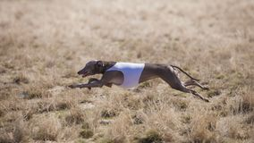 Dog Italian Greyhound pursues bait in the field stock images