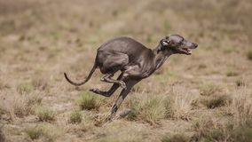 Dog Italian Greyhound pursues bait in the field. Coursing training Royalty Free Stock Images