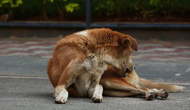 Dog itchy scratching. A street dog itchy scratching while resting on street royalty free stock photos