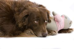 Dog and its toy Stock Photos