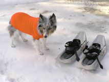 Dog in its winter coat. Dog with its winter coat guarding snowshoes stock photos