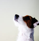 Dog, Jack Russel. Picture of a young Jack Russel terrier who is looking into the sky royalty free stock image