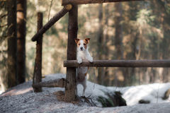 Dog jack russel terrier outdoors in the forest, happy Stock Images