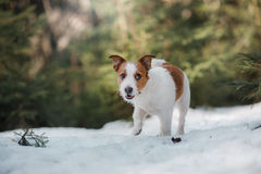 Dog jack russel terrier outdoors in the forest, happy Royalty Free Stock Photo