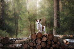Dog jack russel terrier outdoors in the forest, happy Stock Photos