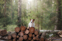 Dog jack russel terrier outdoors in the forest, happy Royalty Free Stock Photography