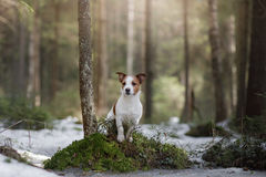 Dog jack russel terrier outdoors in the forest, happy Royalty Free Stock Photos