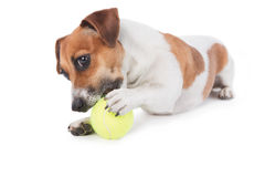 Dog Jack Russel terrier playing with a toy. Dog is gnawing yellow tennis ball. Isolated on white. Studio shot Royalty Free Stock Photos
