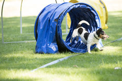 Dog, Jack Russel Terrier, running through agility tunnel Stock Images
