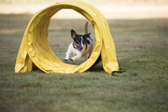 Dog, Jack Russel Terrier, running through agility tunnel Stock Photo