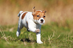 Dog jack russel terrier royalty free stock image