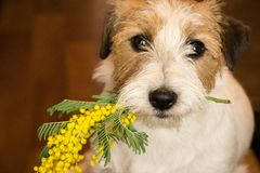 Dog jack russel terrier with a sprig of mimosa. stock image