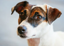 Dog jack russel terrier Stock Images