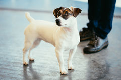Dog jack russel terrier Royalty Free Stock Images
