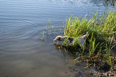 Jack Russell Terrier dog playing in water, summer, lake stock image