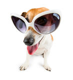 Dog jack russel terrier with white sunglasses Stock Image