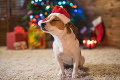 Jack russel under a Christmas tree santa red hat with gifts and stock photography