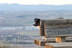 Dog of the Jack Russell breed, up on a bench. stock image