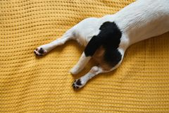 Dog Jack Russell lies on the bed royalty free stock image