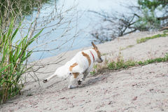 Dog Jack Russell running briskly on riverside against the blue river water stock photo