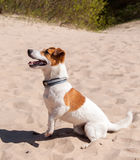 Dog Jack Russell sits on the sea Royalty Free Stock Photos