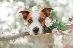 Dog Jack Russell sitting on a tree Stock Photography