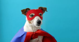 Dog jack russell super hero costume. Dog super hero costume. little jack russell wearing a red mask for carnival party isolated blue background royalty free stock images