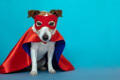 Dog jack russell super hero costume. Dog super hero costume. little jack russell wearing a red mask for carnival party  blue background royalty free stock images