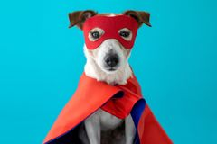 Dog jack russell super hero costume. Dog super hero costume. little jack russell wearing a red mask for carnival party isolated blue background stock photography