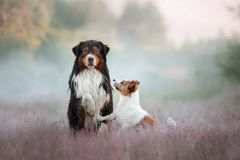 Dog Jack Russell Terrier and Australian shepherd Royalty Free Stock Photography