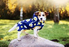 A dog in autumn clothes. Dog Jack Russell Terrier in a blue autumn jacket Royalty Free Stock Photos